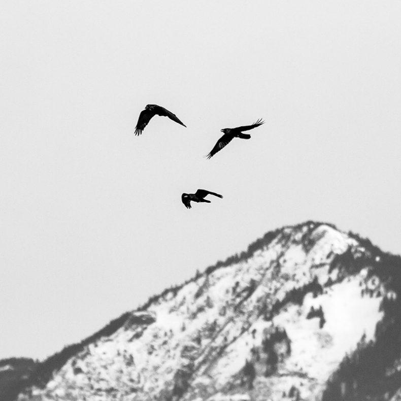 Clay Ravens